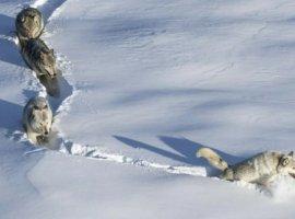 Стала известна история фото-мема «Шерстяной волчара». Это была волчица